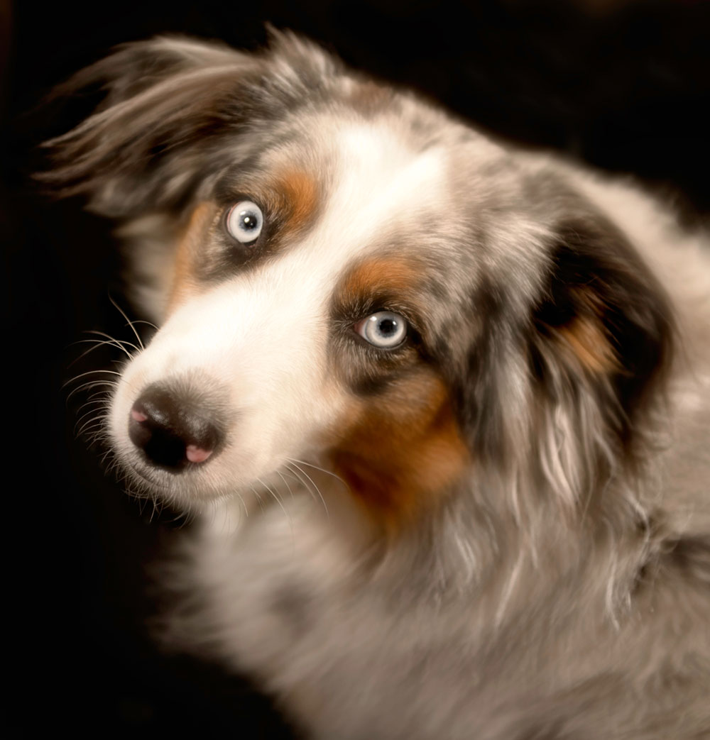 Blue our Australian Shepard & fifth family member
